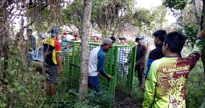 Terlihat warga bersama petugas saat memasang perangkap harimau.