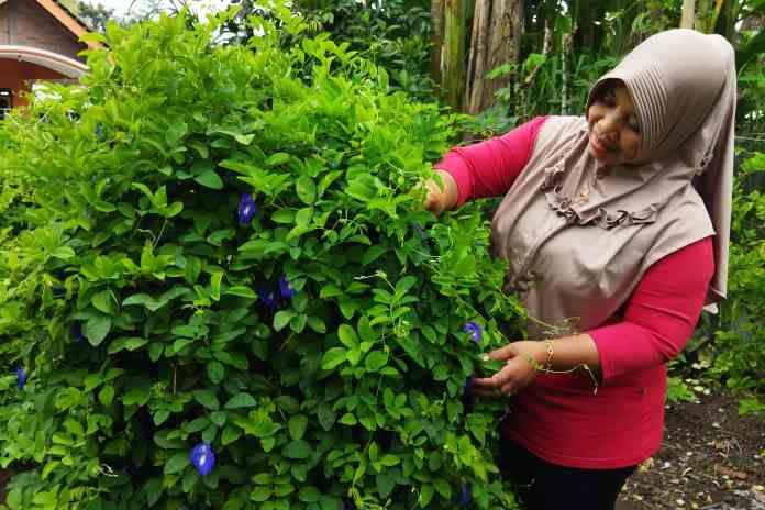 Ratmi saat memetik bunga telang di kebunnya.