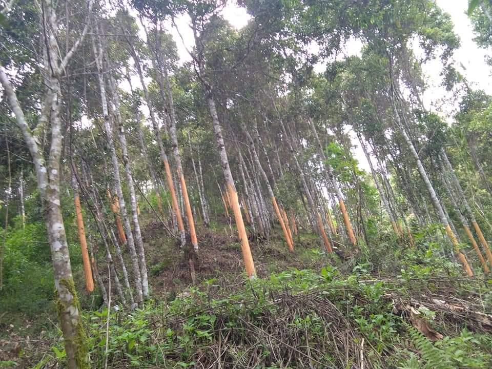 Perkebunan Kayu Manis yang ada di Kerinci yang di sebut-sebut terbaik di dunia.